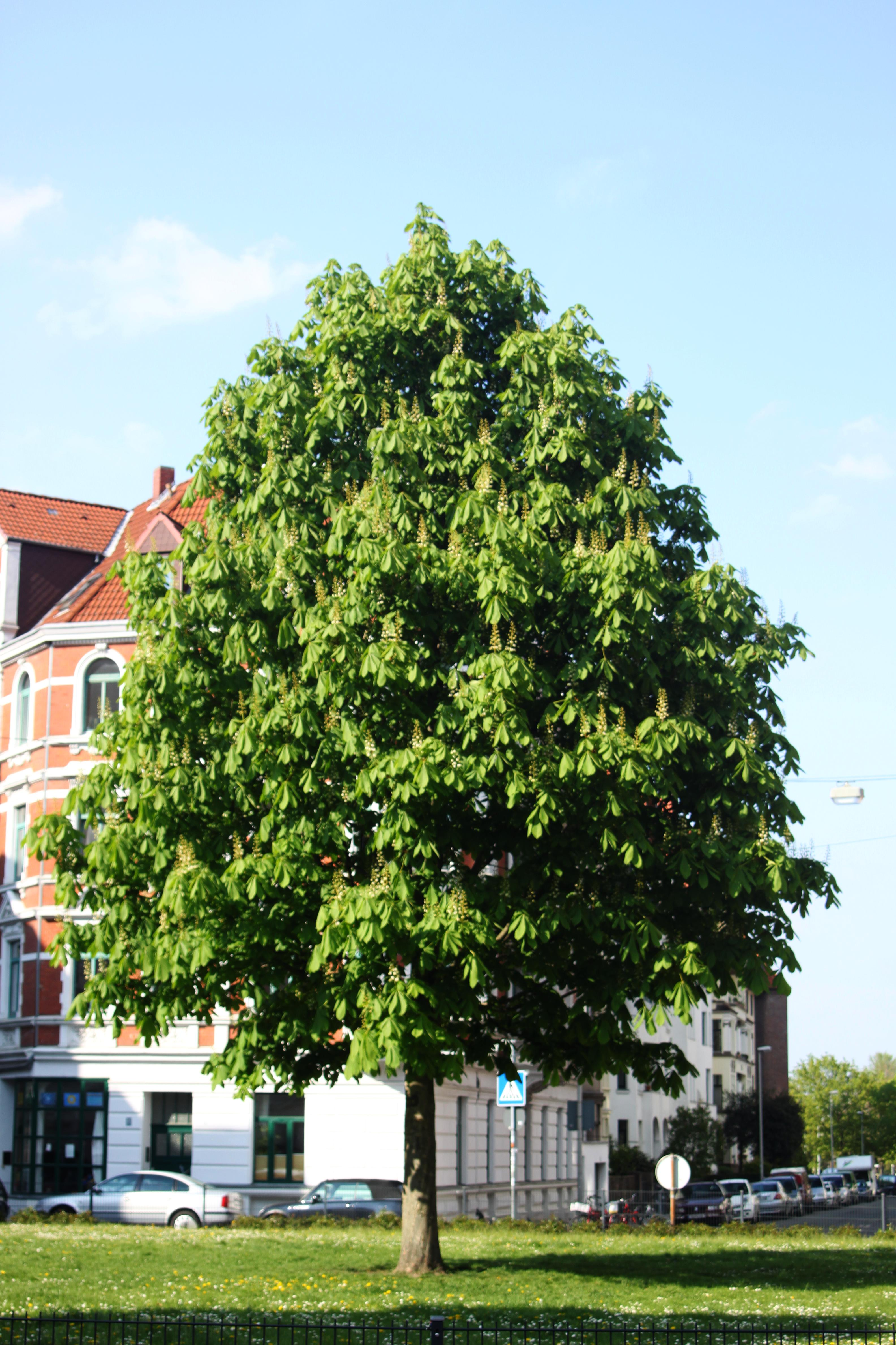 Kastanie auf dem Lichtenbergplatz