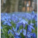 Sibirisches Blaustern (Foto: Wolfgang Hagemann)