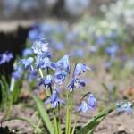 Sibirischer Blaustern