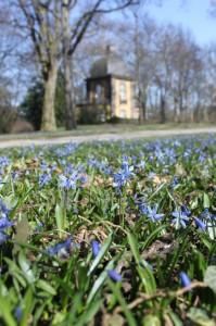 So blau wird die Scillablüte auf dem Lindener Bergfriedhof wohl erst am Osterwochenende zu sehen sein