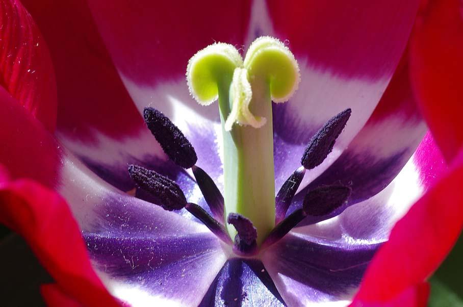 Tulpe (Foto: Grotlüschen)