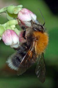 Baumhummel (Bombus hypnorum) (Bild: André Karwath aka Aka, Bombus hypnorum male - side (aka), CC BY-SA 2.5)