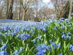 Scillablüte in Linden